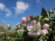 Vista del flor de la manzana Fotos de archivo libres de regalías