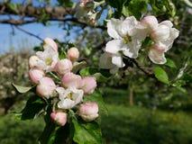Vista del flor de la manzana Imagen de archivo