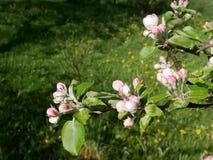 Vista del flor de la manzana Foto de archivo