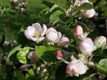 Vista del flor de la manzana Imagen de archivo libre de regalías