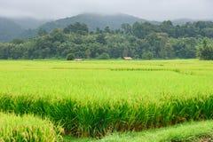 Vista del fondo verde della montagna della risaia nella pioggia della stagione a Fotografia Stock Libera da Diritti