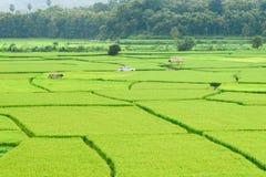Vista del fondo verde della risaia nella pioggia della stagione a Nan Pro Fotografie Stock Libere da Diritti