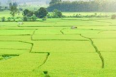 Vista del fondo verde della risaia nella pioggia della stagione a Nan Pro Immagini Stock Libere da Diritti