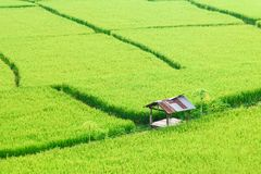 Vista del fondo verde della risaia nella pioggia della stagione a Nan Pro Immagini Stock