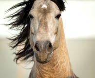 Vista del fronte del primo piano della testa di cavallo Fotografia Stock