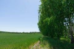 Vista del giacimento di grano tramite le foglie della betulla Immagine Stock