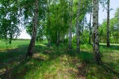 Vista del giacimento di grano tramite le foglie della betulla Fotografia Stock Libera da Diritti