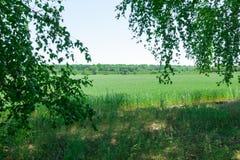 Vista del giacimento di grano tramite le foglie della betulla Fotografie Stock