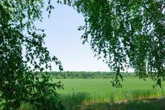 Vista del giacimento di grano tramite le foglie della betulla Fotografie Stock Libere da Diritti