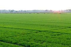 Vista del giacimento del riso, foglie verdi fresche all'alba Immagini Stock