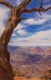 Vista del ginepro di Grand Canyon del fiume Colorado Fotografie Stock Libere da Diritti