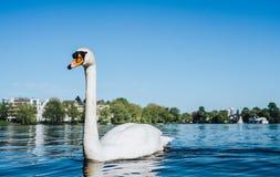 Vista del lago Alster e nuoto bianco del cigno di tolleranza sul lago Alster a Amburgo un giorno soleggiato Immagine Stock