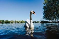 Vista del lago Alster e nuoto bianco del cigno di tolleranza sul lago Alster a Amburgo un giorno soleggiato Immagini Stock Libere da Diritti