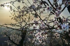 Vista del mandorlo che fiorisce con i bei fiori Immagini Stock Libere da Diritti