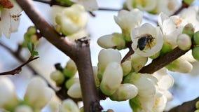 Vista del movimento lento del fiore bianco polinating dell'ape stock footage