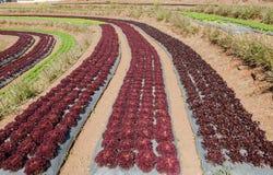 Vista del paesaggio del campo del terrazzo di agricoltura Immagine Stock