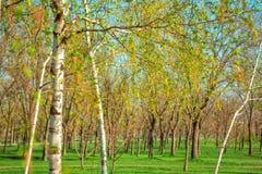 Vista del parque de la primavera con los árboles de abedul Foto de archivo libre de regalías