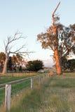 Vista del pascolo della latteria di tramonto del Glengarry vivere e degli alberi di eucalyptus morti in Victoria Australia Immagine Stock Libera da Diritti