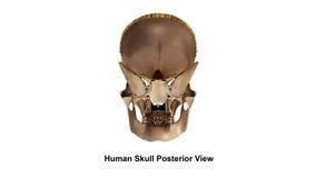 Vista del posteriore del cranio Fotografia Stock
