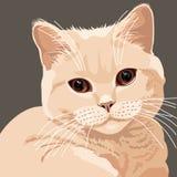 Vista del primer británico del gato de la lila Fotografía de archivo libre de regalías