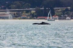 Vista del primer de la ballena jorobada y del bebé, novaeangliae del Megaptera, natación de la madre en San Francisco Bay con la  Imagen de archivo libre de regalías