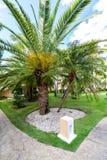 Vista del primer de las palmas datileras en un césped verde Imagen de archivo