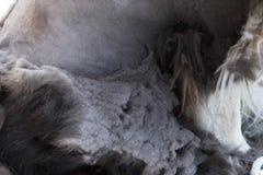 Vista del primo piano dei cappotti trascurati non sani del cane Immagini Stock Libere da Diritti