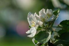 Vista del primo piano dei fiori della mela Immagini Stock Libere da Diritti