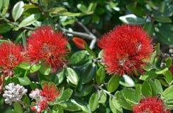 Vista del primo piano dei fiori di Pohutukawa di estate Immagine Stock