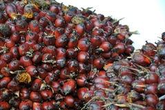 Vista del primo piano dei mazzi della frutta dell'olio di palma Fotografia Stock
