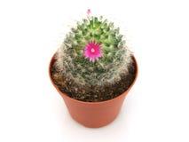 Vista del primo piano del cactus sbocciante in un POT Fotografia Stock Libera da Diritti
