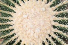 Vista del primo piano del cactus verde succulente succoso Immagini Stock Libere da Diritti
