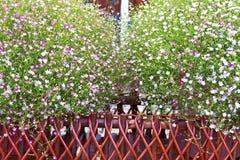 Vista del primo piano del fiore del gypsophila Immagine Stock