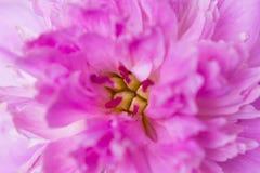 Vista del primo piano del fiore della peonia Immagine Stock Libera da Diritti