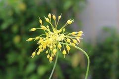 Vista del primo piano del flavum giallo dell'allium del fiore Fotografie Stock