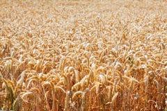 Vista del primo piano del giacimento di grano Immagine Stock