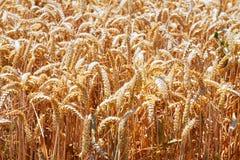 Vista del primo piano del giacimento di grano di estate Fotografia Stock