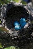 Vista del primo piano del nido dell'uccello di Robin sopra l'orientamento di verticale dell'albero Fotografie Stock Libere da Diritti