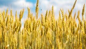 Vista del primo piano dell'orecchio del grano Fotografia Stock Libera da Diritti
