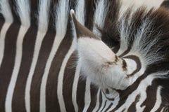 Vista del primo piano dell'orecchio di una zebra Fotografia Stock
