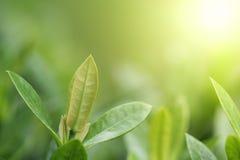 Vista del primo piano della foglia verde nell'ambito di luce solare Fondo di freschezza e della natura fotografia stock libera da diritti