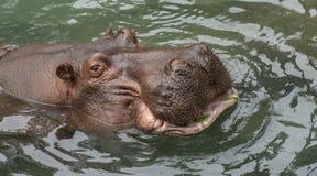 Vista del primo piano della testa dell'ippopotamo Fotografia Stock Libera da Diritti