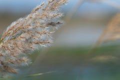 Vista del primo piano delle spighette del phragmites australis dell'erba Albufera, Valencia, Spagna fotografie stock