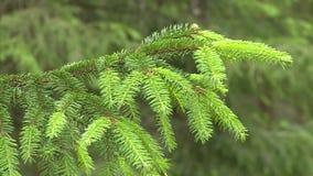 Vista del primo piano di bei rami verdi freschi di giovane albero di abete che cresce all'aperto video d archivio