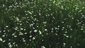 Vista del primo piano di bello campo della camomilla con i fiori bianchi e blu che galleggiano nel vento colpo Estate pittoresca video d archivio