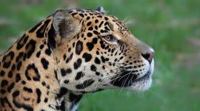 Vista del primo piano di Jaguar (onca della panthera) Fotografia Stock Libera da Diritti