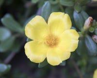 Vista del primo piano di una fioritura gialla del geranio Fotografie Stock Libere da Diritti