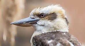 Vista del primo piano di una kookaburra di risata Fotografie Stock Libere da Diritti
