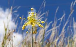 Vista del primo piano del flavum giallo dell'allium del fiore su un prato Flavum dell'allium, la piccola cipolla gialla o a fiore Immagini Stock