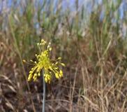 Vista del primo piano del flavum giallo dell'allium del fiore su un prato Flavum dell'allium, la piccola cipolla gialla o a fiore Immagine Stock